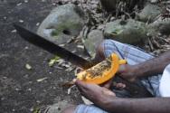 Une papaye fraîche cueillie directement sur l'arbre.